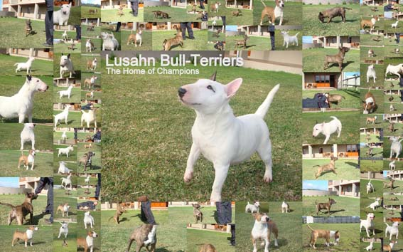 Lusahn Mini Bull Terriers