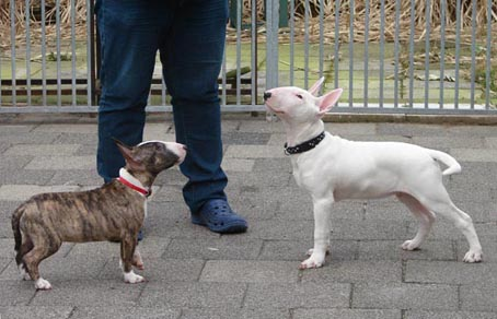 miniature bull terrier network south africa
